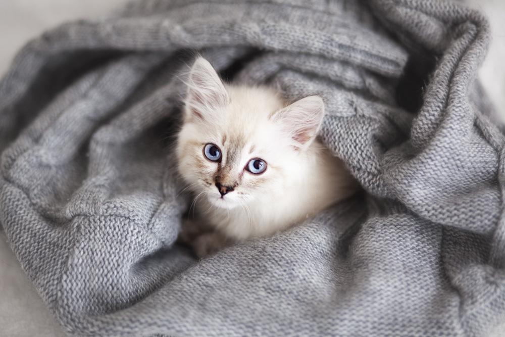 Neva Masqurade kattunge myser i en filt