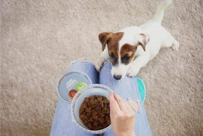 Jack Russell Terriervalp som sträcker sig efter träningsgodis för hundar.
