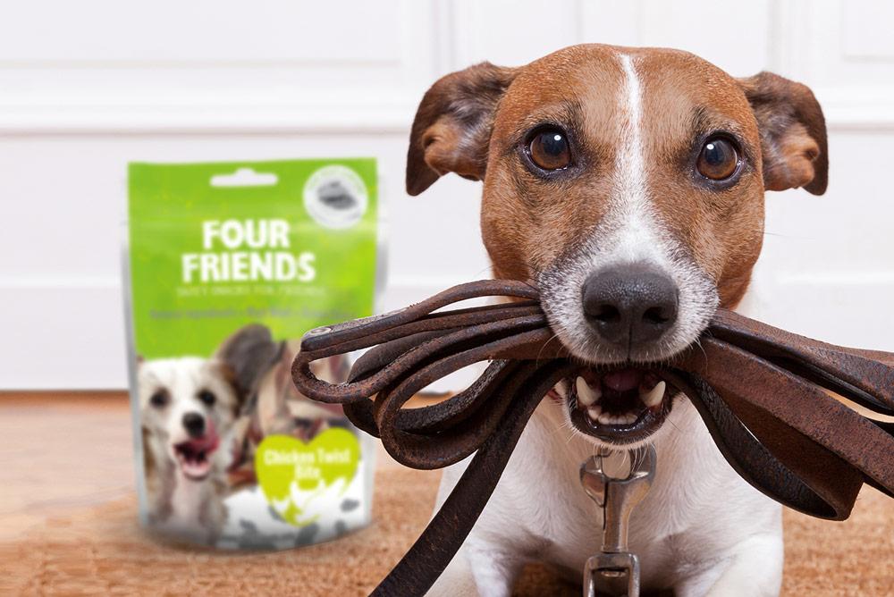 Jack Russell Terrier med sitt koppel i munnen, redo att gå ut.