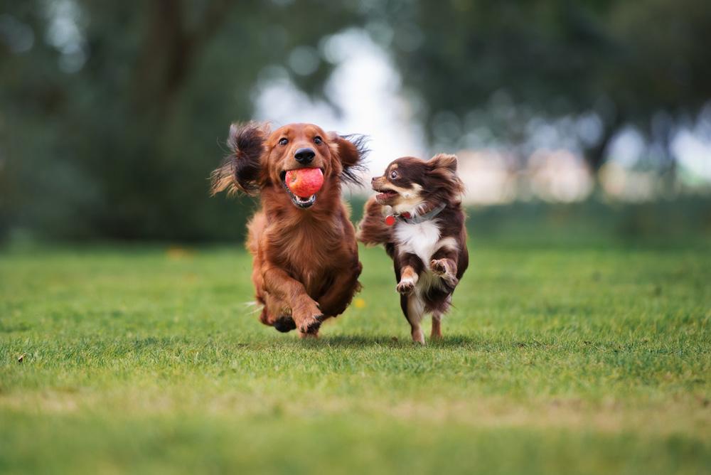 Två hundar kappspringer genom en park om ett äpple som den ena har i sin mun.
