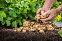 Skördande av potatis i potatislandet.