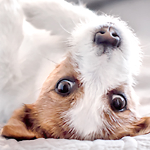 Jackrussel Terriervalp tumnagel