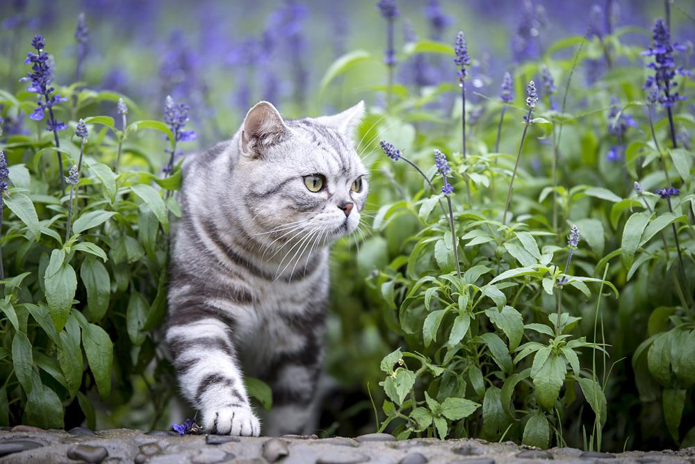 Katt som går igenom ett lavenderbuskage.