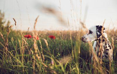 Dalmatin i högt gräs på en äng.