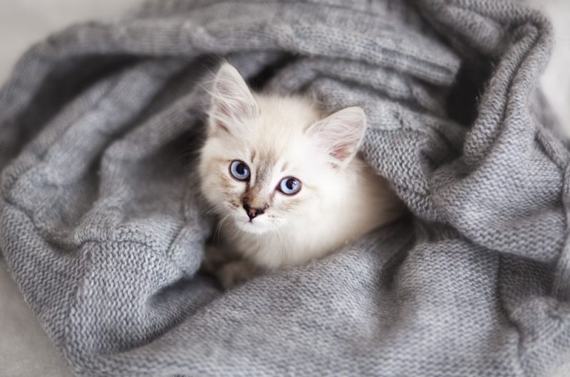 Neva Masqurade kattunge myser i en filt.