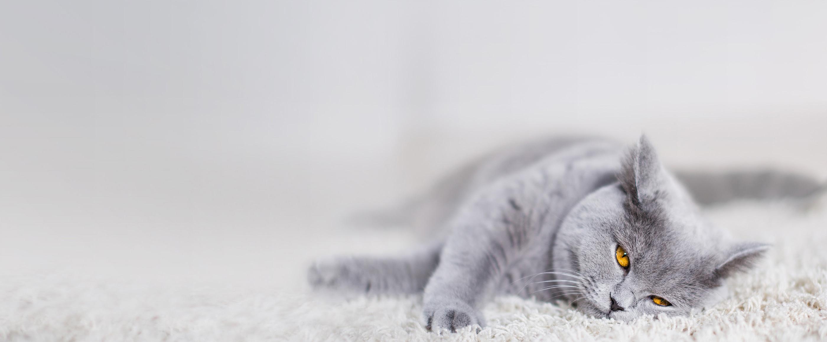 Brittiskt korthårkatt som ligger på en ryamatta och njuter.