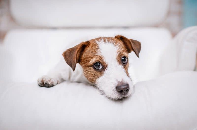 Jack russel terrier med bedjande ögon