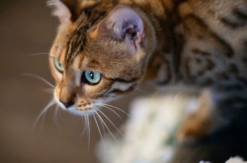 Bengalkatt som spanar.