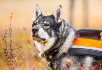 Svensk älghund. Foto: Adobestock.com