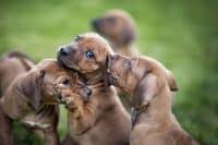 Hundavalpar leker i gräset